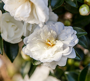 Petite informal white Bride October Magic Camellia