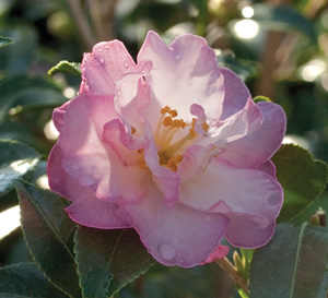 Soft pink informal Camellia bloom with yellow center and pink margins on the petals; Inspiration October Magic Camellia