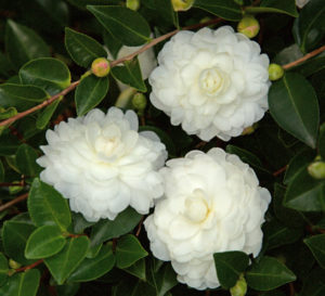 A cluster of 3 White Shi Shi Camellia blooms and buds against the shrubs dark green foliage