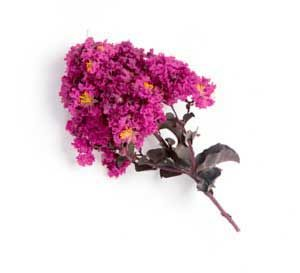 A hot pink crapemyrtle bloom on a white background