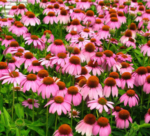 A field of Crazy Pink Echinacea flowers in bright pink with pink-orange-brown cones