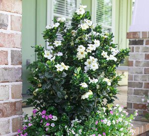 Diamond Spire Gardenia from Southern Living in a container