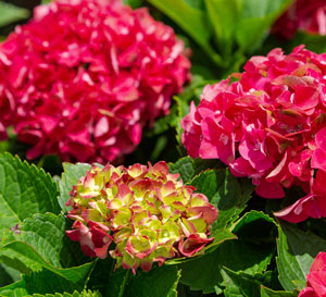 Red and yellow-green Hydrangea panicles with bright green foliage
