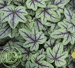 Close-up look at the large green lobed leaves with dark red-purple veining of Pink Fizz Heucherella's