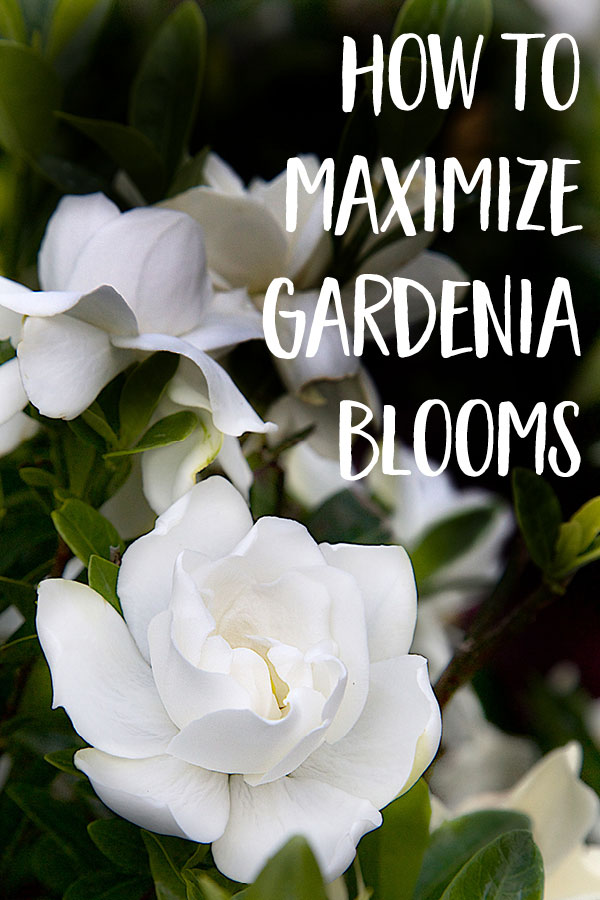 How To Maximize Gardenia Blooms