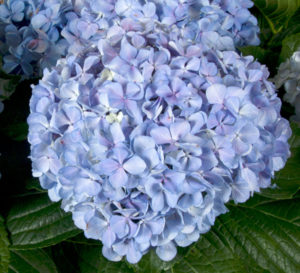 Close-up on big beautiful round Big Daddy Hydrangea blue bloom head