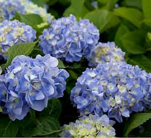 Heaps of blue to lavender Southern Living Hydrangea bloom heads