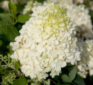 Close-up on White Wedding Hydrangea, cone-shaped blooms in white to cream to lime