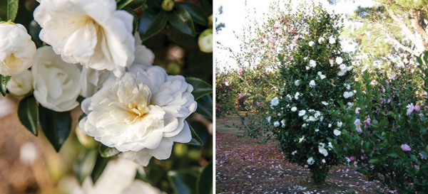 Classic Southern charm in an upright conical form, October Magic® Bride™ introduces camellias to the tightest of gardens without sacrificing style. Elegant deep green foliage shines year-round, offering a stunning platform for an abundance of pure white blooms.